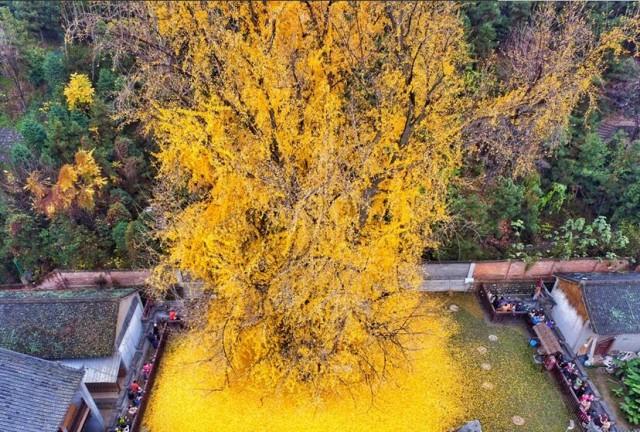 西安市长安区终南山下的古观音禅寺内的千年古银杏树已经有1400年历史,据传是当年唐太宗李世民亲手栽种的,已经被列为国家古树名木保护名录。图为秋季银杏叶子开始凋落,金黄的银杏叶子像是在树下铺成了黄金的毯子。 4 老子手植银杏
