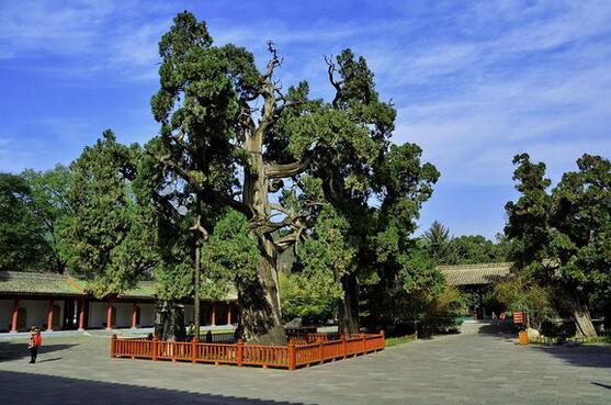 这株柏树树龄约5000年,生长在黄陵桥山轩辕庙,高20余米,胸径11米,苍劲挺拔,冠盖蔽空,叶子四季不衰,层层密密,像个巨大的绿伞。相传它为轩辕黄帝亲手所植,距今5000多年,是世界上最古老的柏树,人称世界柏树之父。