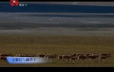 这里是西安 吴晓民和藏羚羊